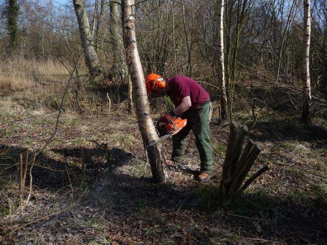 felling-birch-small