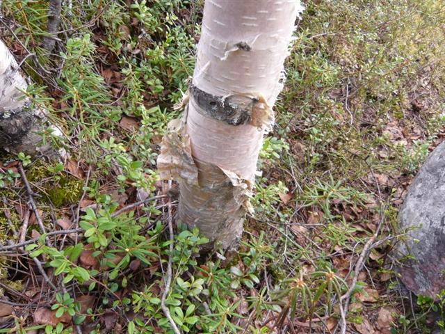 birch bark (Small)