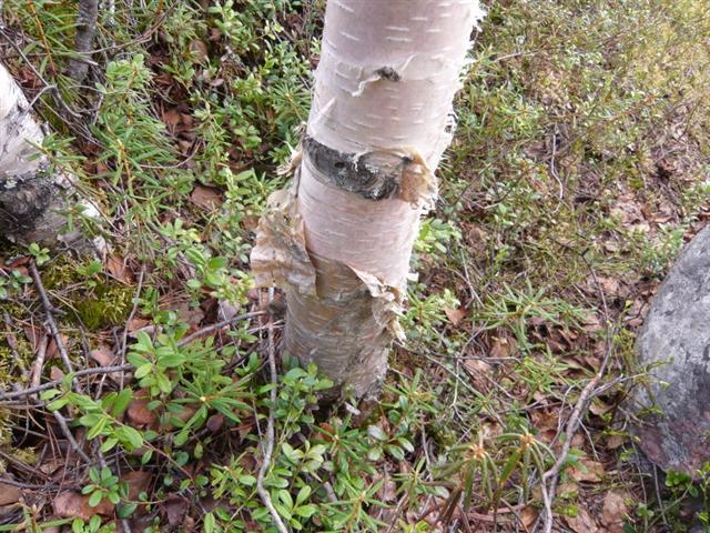 birch bark (Small)
