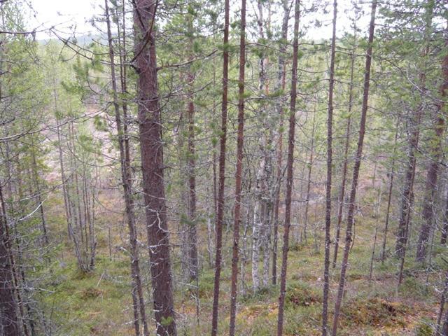 Pine poles (Small)