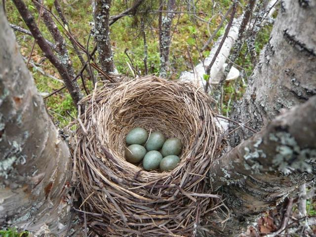 Redwing eggs (Small)