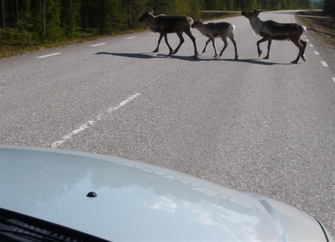 reindeer crossing road (Large)