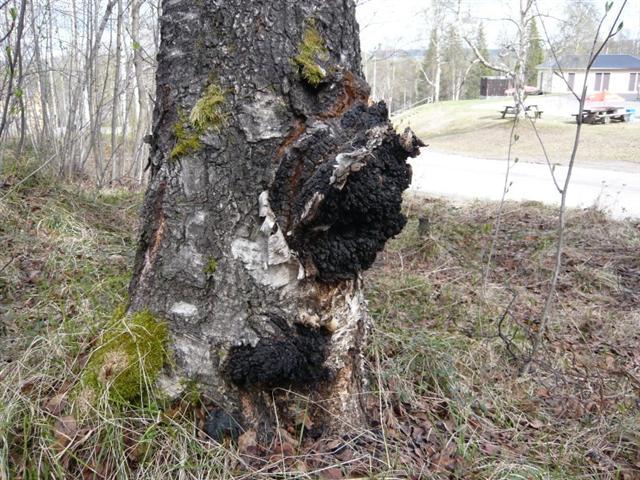 True tinder fungus (Small)