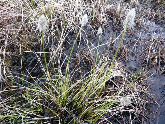 Cotton grass (Small)
