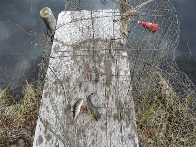 fish in trap (Small)