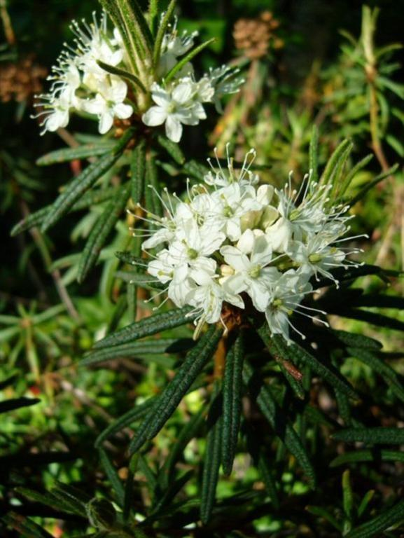 Labrador Tea (Large) (577 x 768) (Large)