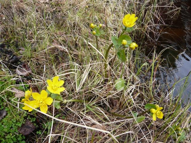 Marsh Marigold (Small)