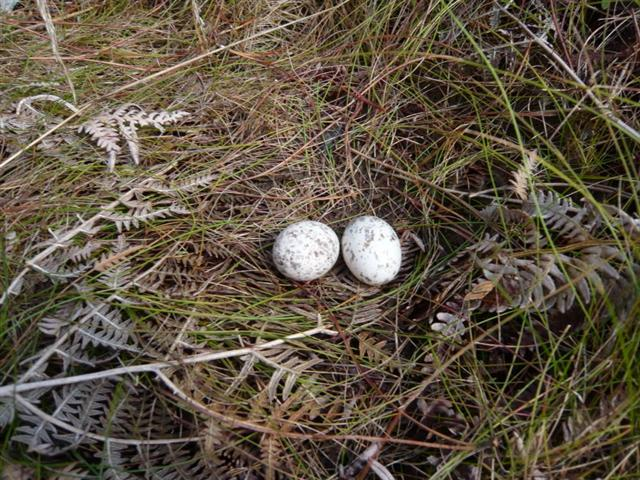 Nightjar nest (Small)