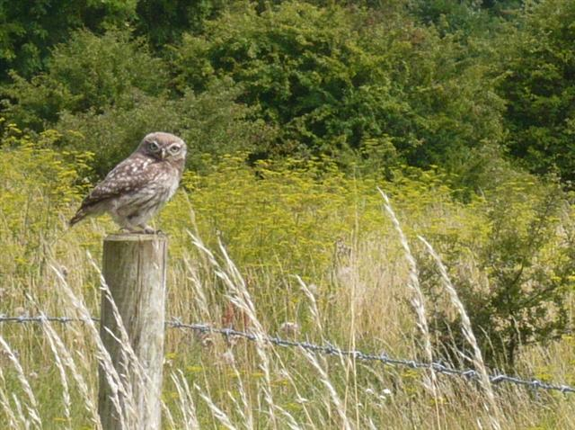 Little Owl-2 (Small)