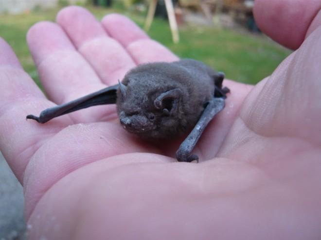 pipistrelle bat-1