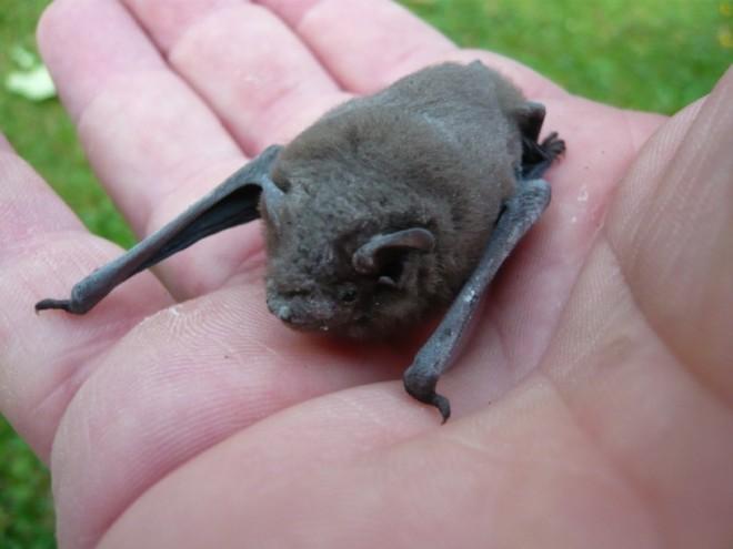 pipistrelle bat-2
