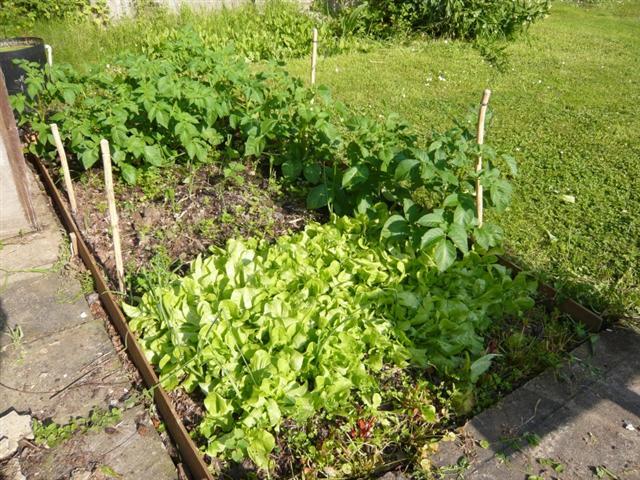 veg garden-5 (816 x 612) (Small)
