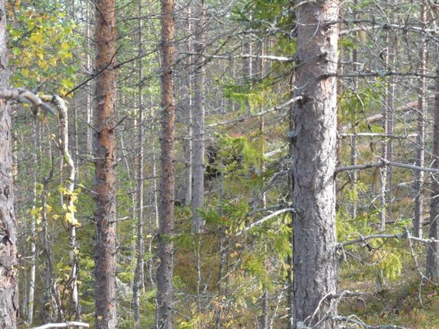 bears den in forest (Small)
