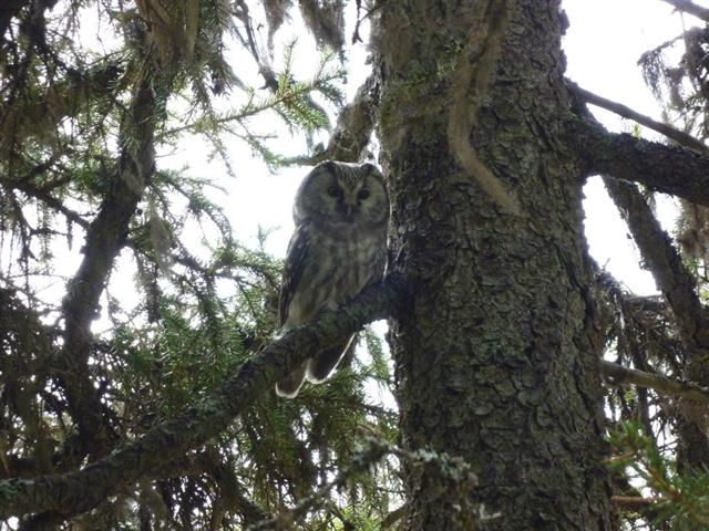 tengmalms owl-1 (Small)