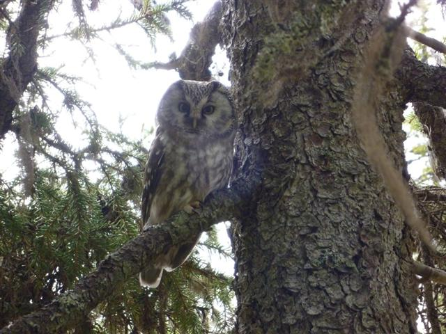 tengmalms owl-2 (Small)