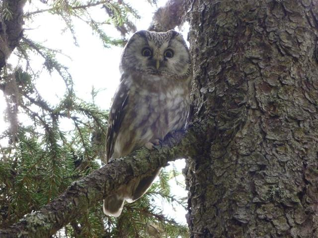 tengmalms owl-3 (Small)