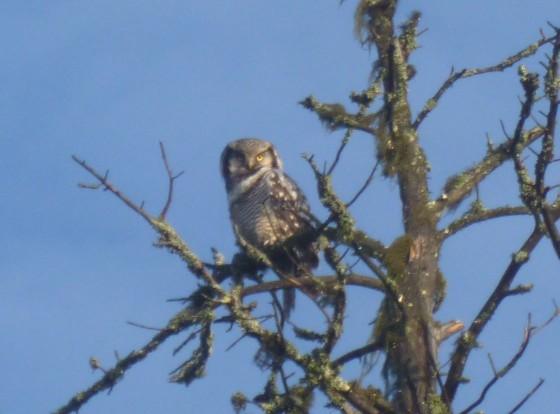 hawk owl nattavaara
