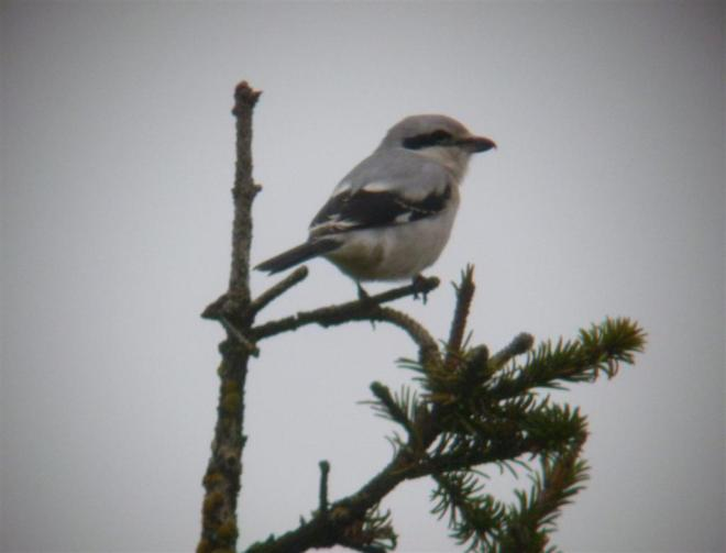 great grey shrike nattavaara lapland