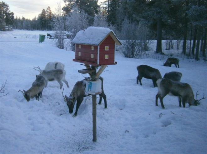 reindeer in garden nattavaara lapland kevin warrington