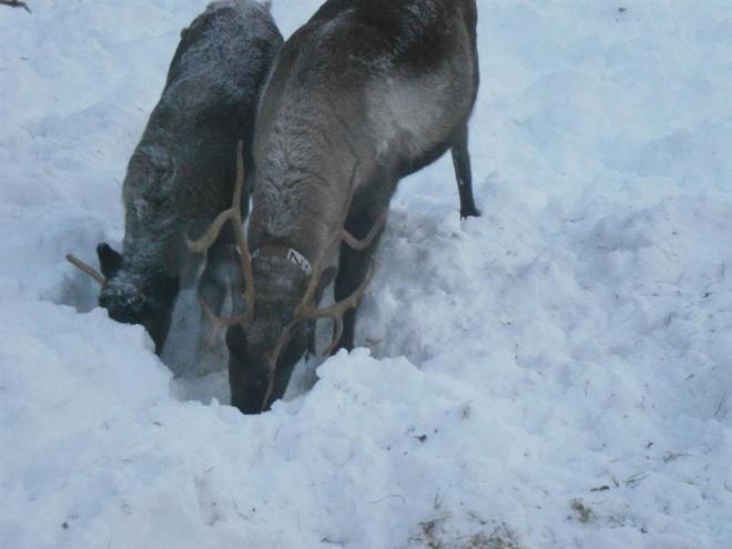 reindeer nattavaaraby