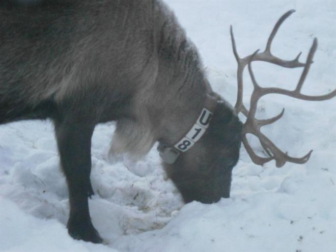 reindeer with gps collar nattavaara