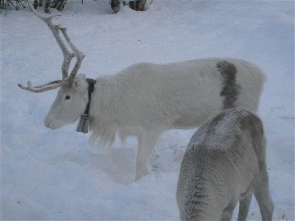 White Baby Reindeer Gallery For > White...