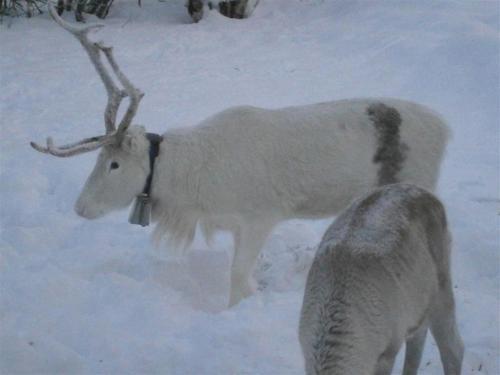 white reinddeer nattavaara natural lore