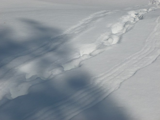 capercaillie tracks in snow
