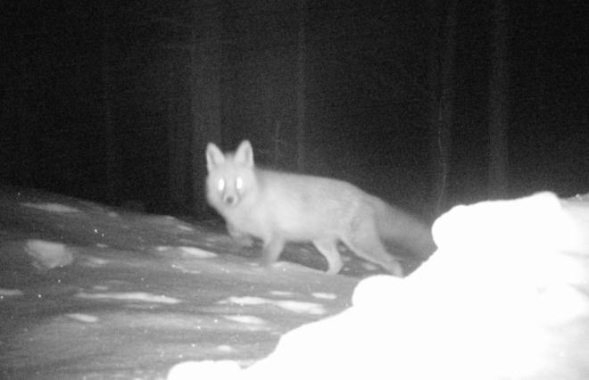 fox at night-1 (Large)