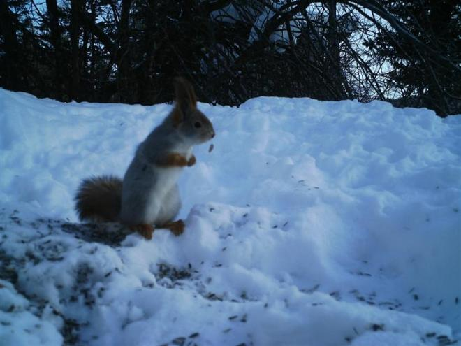 Red Squirrel-2 (Medium)