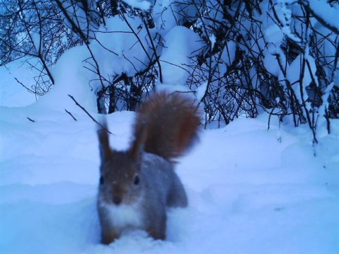 Red Squirrel (Medium)