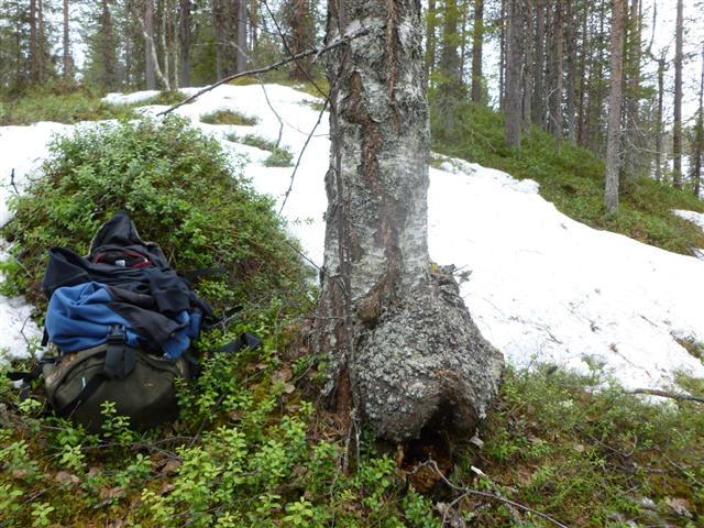 birch bur (Small)