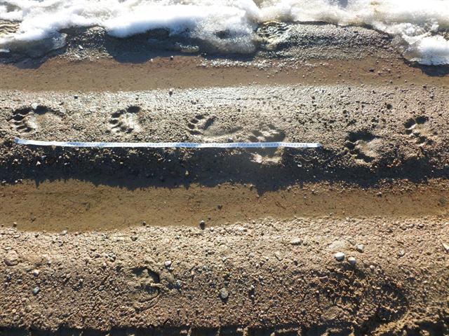 brown bear tracks-2 (Small)