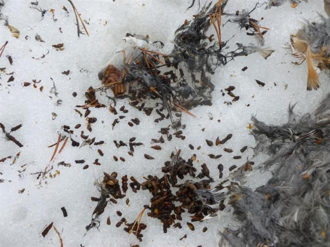 capercaillie crop contents (Medium)