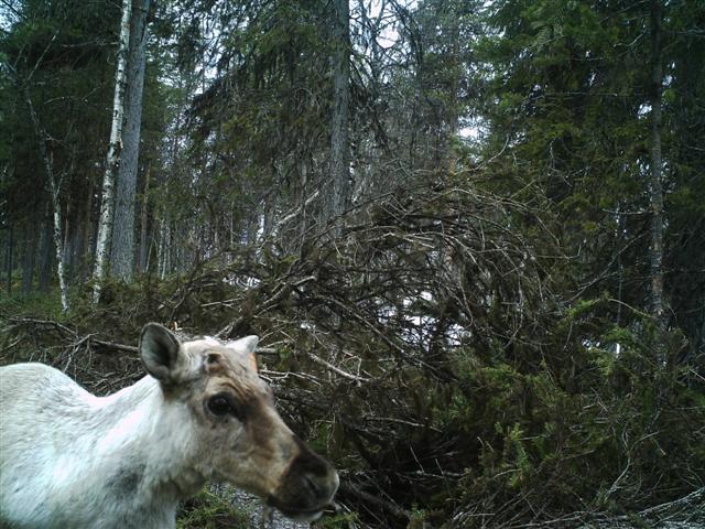 little acorn camera reindeer