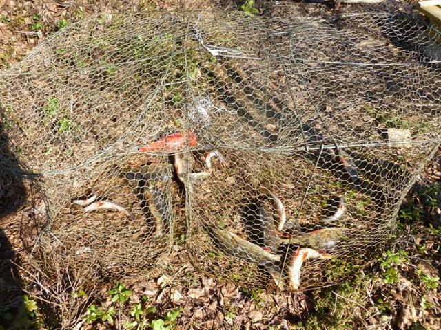 Trap laplander 39 s natural lore blog for Homemade fish traps