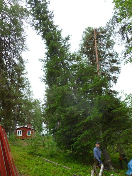 felling a large spruce (Medium)