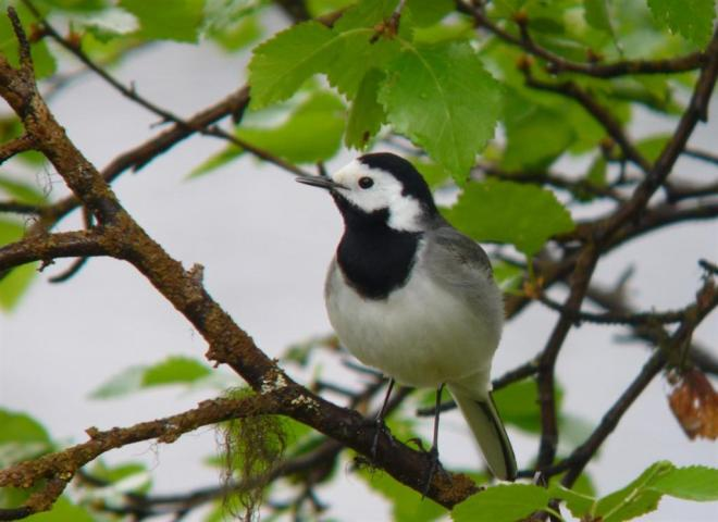 white wagtail (Large)