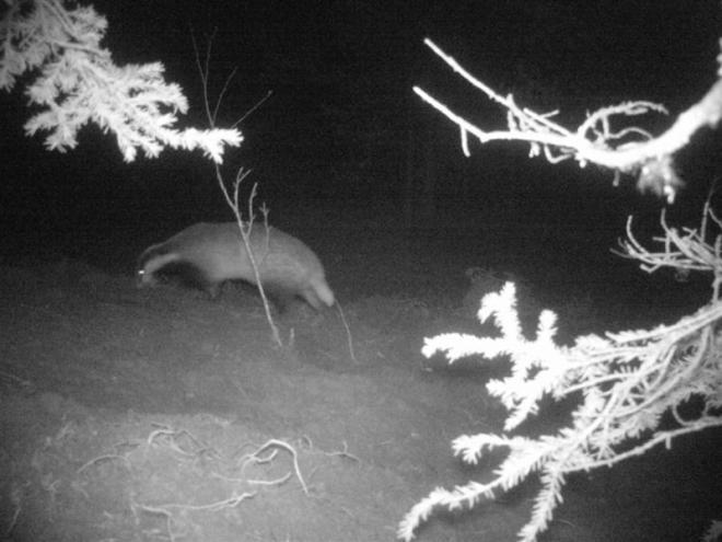 badger-3 (Medium)