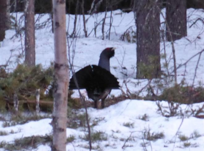 capercaillie display sweden