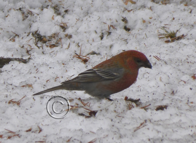 pine grosbeak-3