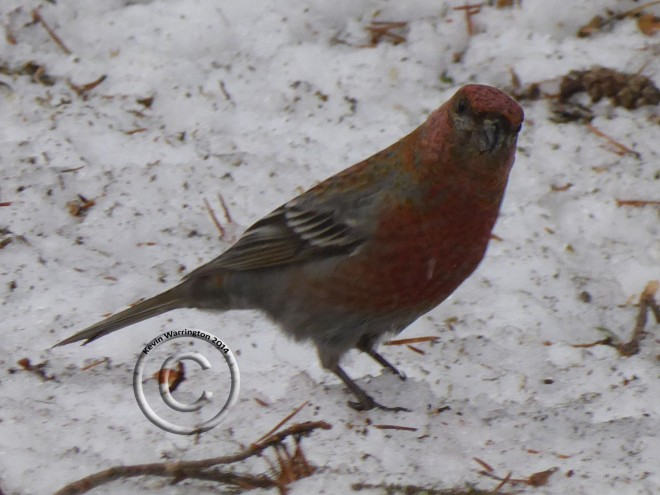 pine grosbeak-4