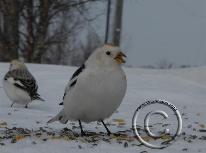 snow bunting-1 (Large)