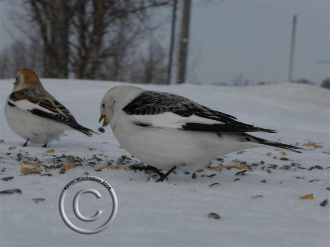 snow bunting-2 (Large)