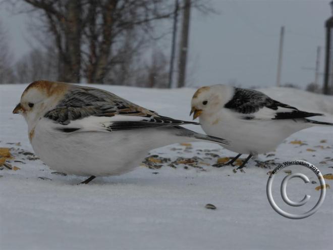 snow bunting-3 (Large)