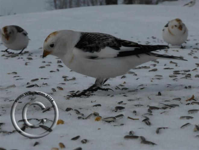 snow bunting-4 (Large)