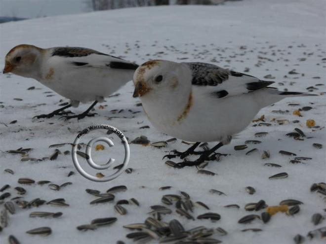 snow bunting-5 (Large)