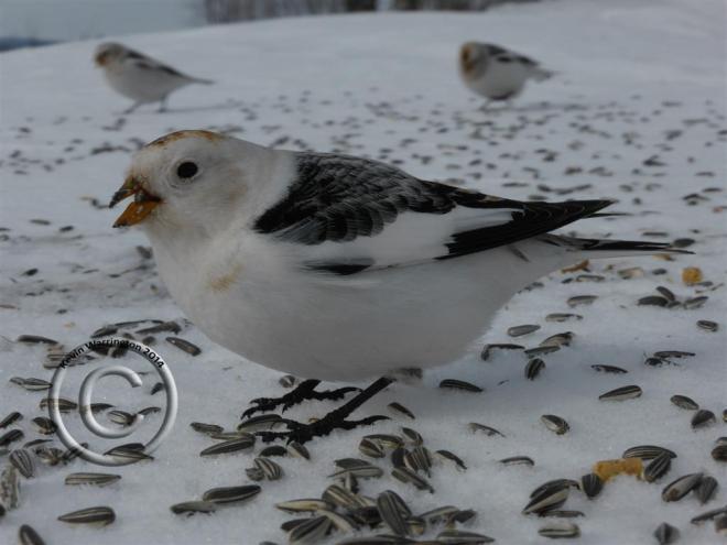 snow bunting-6 (Large)
