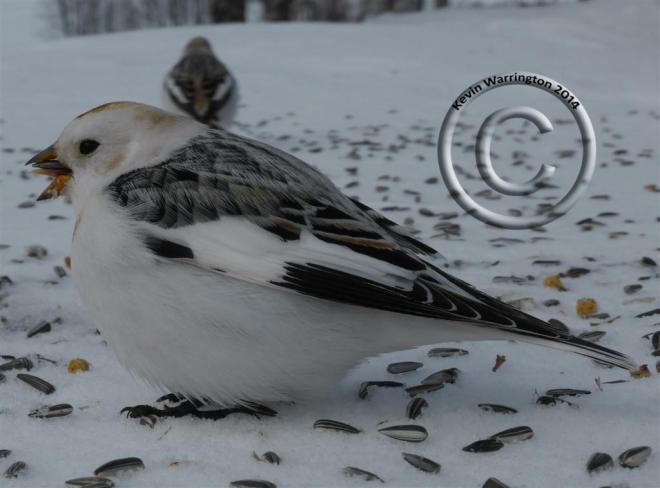 snow bunting-7 (Large)