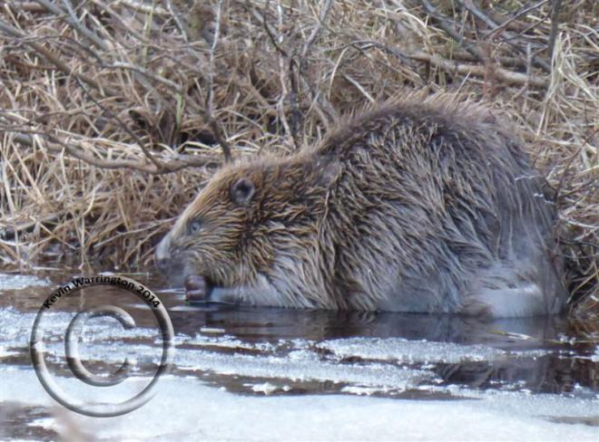 beaver-2014 (Medium)